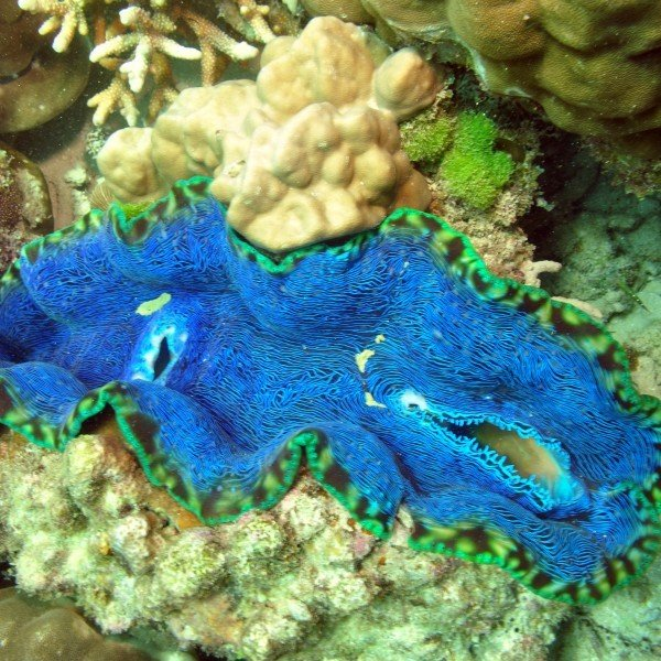 Giant Clam  Great Barrier Reef Australia