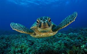 green-sea- turtle