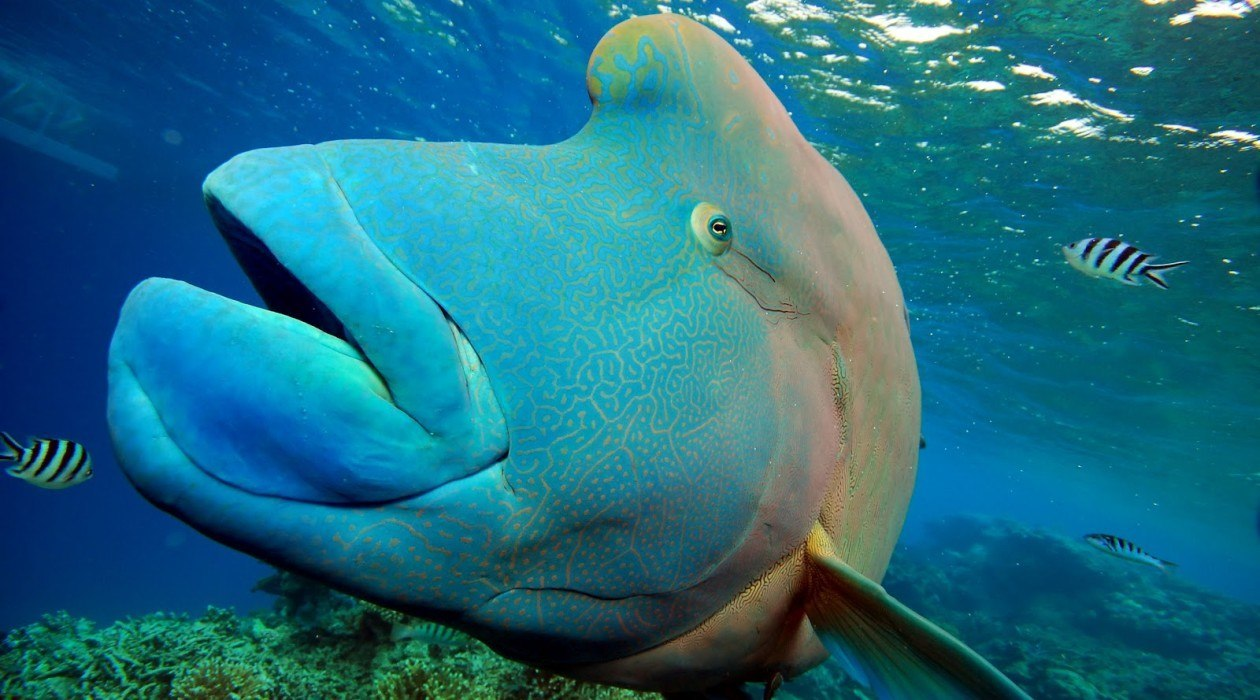 Great Barrier Reef Giant Maori Wrasse, Cairns Australia