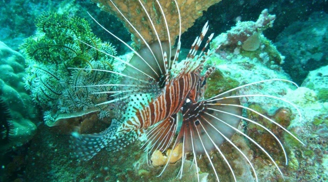 Yongala dive lionfish
