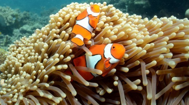 Great Barrier Reef clownfish, North Queensland Australia