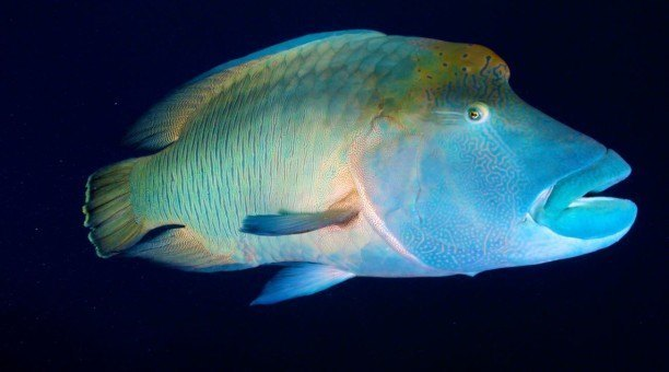 Great Barrier Reef Maori Wrasse