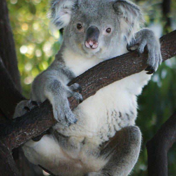 koala Kuranda, North Queensland Australia