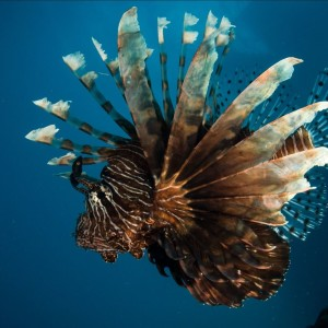 lion fish Great Barrier Reef Australia