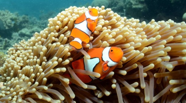 Nemo. Snorkel whitsundays. Whitsunday. Great barrier reef. Nemo fish. Finding dory. Finding nemo. Discounted whitsundays. Whitsunday discount. Whitsunday day tour. Whitsunday overnight. Cheap whitsundays.