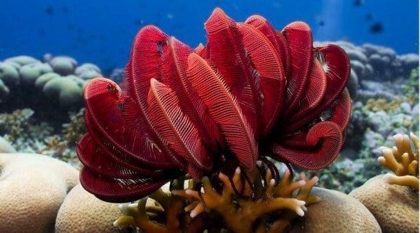 Great Barrier Reef featherstar