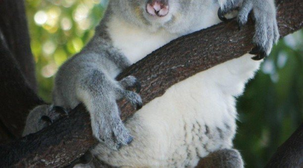 koala Kuranda, North Queensland Australia