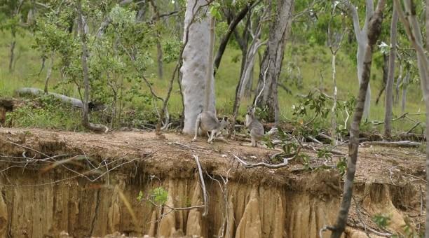 Kangaroos in the wild North Queensland Australia