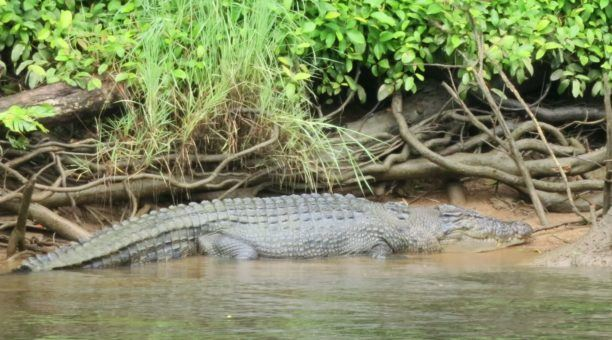Spot a crocodile on a Daintree River Cruise