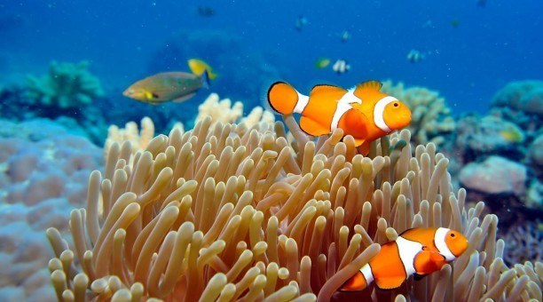 Great Barrier Reef Queensland Australia clownfish