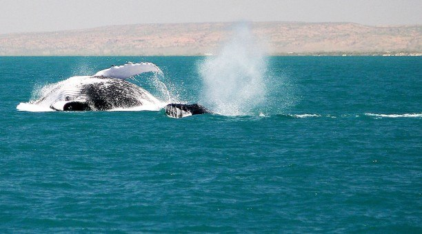 Humpback Whale Tour Ningaloo Australia