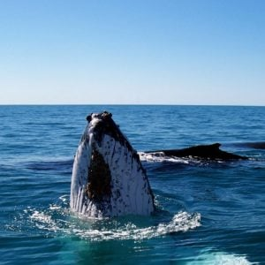 Ningaloo Reef Humpback Whale Adventure