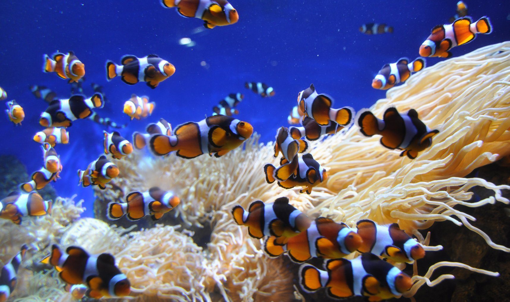Clown fish great barrier reef hot getaways for Great barrier reef fish