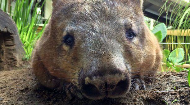 Wombat at Rainforestion Wildlife Park