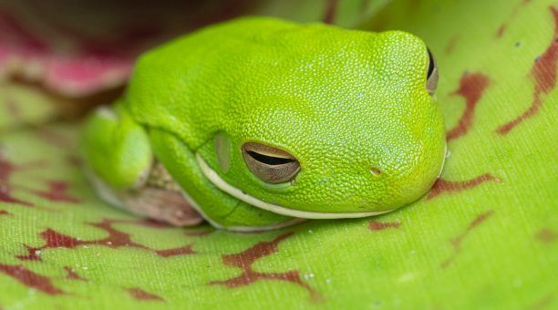 Get up close to a White-lipped Tree Frog's for that perfect shot!